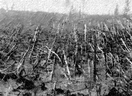 Flattened trees at Tunguska